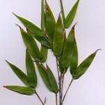 170px-Phyllostachys_nigra_folium