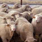 """Flock of sheep"". Licensed under Public domain via Wikimedia Commons."