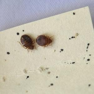 two-bed-bugs_2