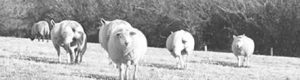 Sheep (cropped from larger illustration)
