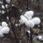 800px-CottonPlant