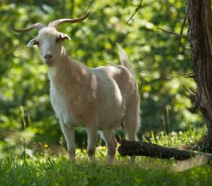 Cashmere goat, Spring Gate Farm, MG_1992