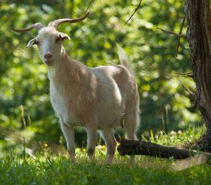 Cashmere goat, Spring Gate Farm, MG_1992