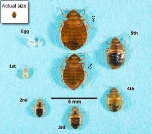 bed-bugs-actual-size