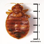 bed-bug-size-millimeters