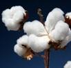 cotton_02